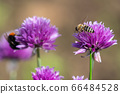 Honey bee collecting nectar from chives plant 66484528