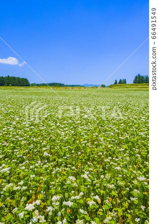 아카기 고원의 메밀 밭 (세로) 66491549