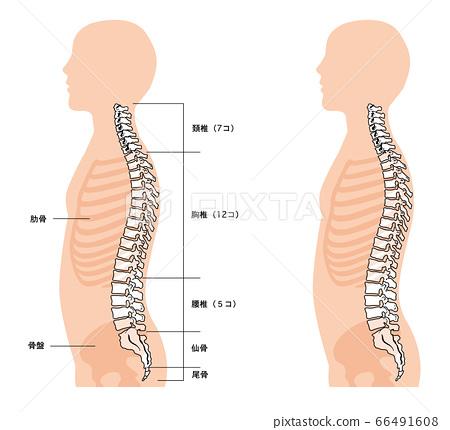 인체 해부도 척추 66491608