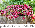 Bunches of freshly harvested radishes at market 66505192