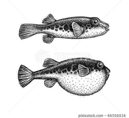 Ink sketch of fugu fish. 66508816