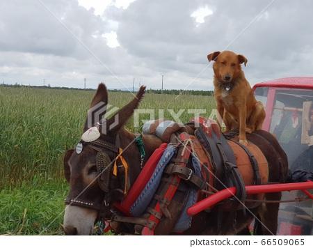 Donkey and dog 66509065