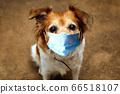 Dog wearing safety mask for protect Corona virus, covid 19 protection mask on cute brown dog, 66518107