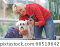 Smiling blonde woman is grooming a white maltese 66519642