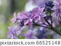 Hydrangea flowers that withstand rain and bloom pink flowers 66525148