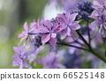 绣球花可以抵挡雨水并绽放粉红色花朵 66525148