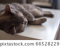 Young cat lies on a table sleeping with his eyes 66528229