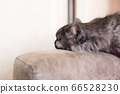 Portrait of a long-haired cat sleeping on a sofa. 66528230
