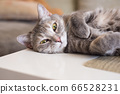 Young tabby cat lies on a table resting clutching 66528231