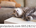 Young tabby cat lies on a table resting showing 66528232