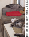 Young cat lies on a table resting and cat sleeps 66528233
