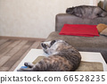 Young cat lies on a table and a cat sleeps on sofa 66528235