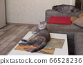Young cat looking to side lying on table and cat 66528236
