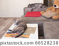 Two tired cats sleep in home apartments. 66528238
