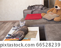 Young cat looking to side lying on table and cat 66528239
