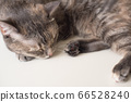 Young cat is sleeping on a white surface. Young 66528240