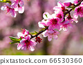 Beautiful blooming peach trees in spring garden 66530360
