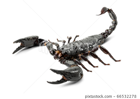 Scorpion isolated 66532278