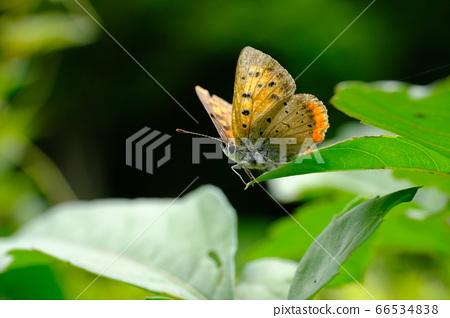 사랑스럽고 쉬고있는 베니시지미 나비 66534838