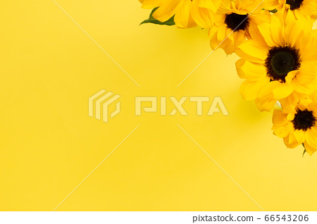 Yellow sunflowers on yellow background. Floral composition, top view, copy space 66543206