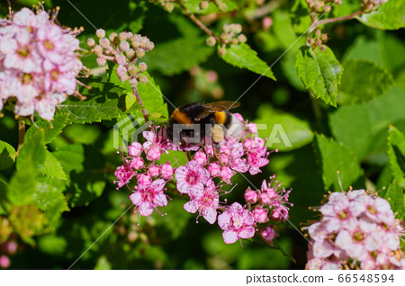 Bumblee bee pollinating flowers 66548594