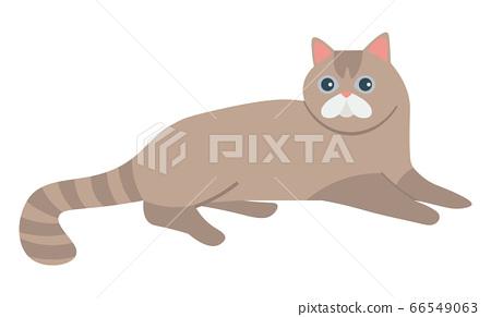 Scottish Straight Cat Isolated Feline. Vector 66549063