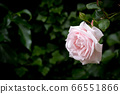 Pale pink rose against blurred dark green background, horizontal 66551866