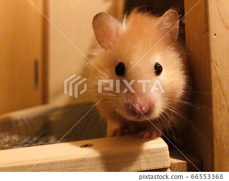 Long-haired hamster head-on 66553368