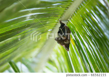 fruit bats sleeping coconut tree 66562155