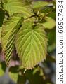 Handkerchief tree 66567434