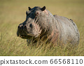 Hippo stands eyeing camera in tall grass 66568110
