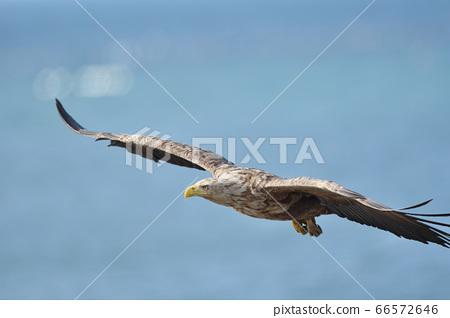 野付 반도의 해상을 비행 흰 꼬리 수리 (홋카이도) 66572646