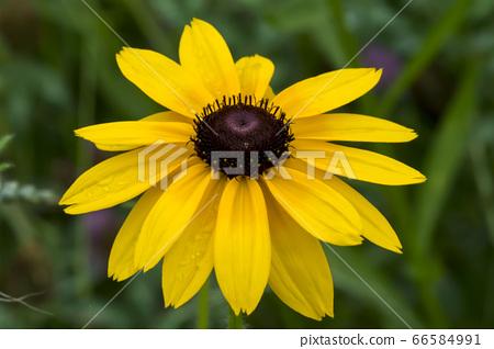 루두베키아 꽃 66584991
