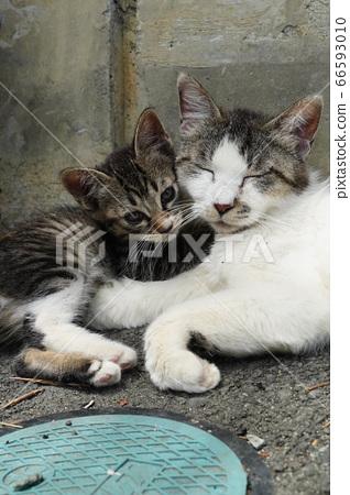 어미 고양이를 받아 들인다 도둑 고양이 고양이 66593010