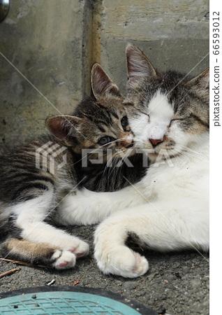 어미 고양이를 받아 들인다 도둑 고양이 고양이 66593012