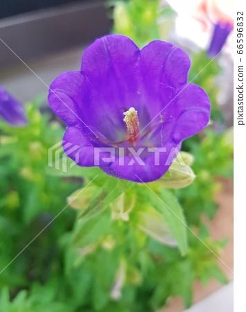 紫色的花 66596832