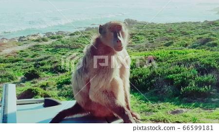 세렝게티 원숭이 66599181