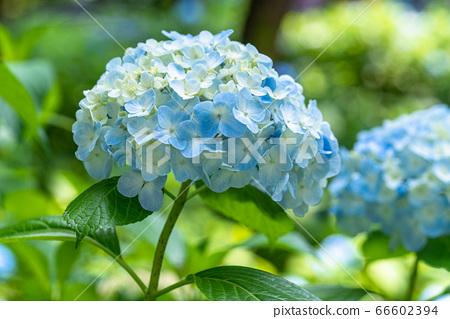 繡球花·雨季圖像 66602394
