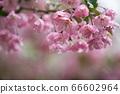 花 66602964