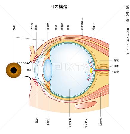 眼睛結構造眼 66609269