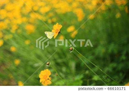나비꽃 66610171