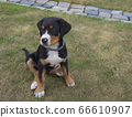 close up cute greater swiss mountain dog puppy portrait sitting in the green grass, selective focus 66610907