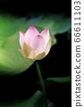 蓮花 66611103