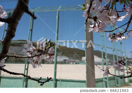 Sakura and baseball field 66621983