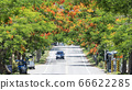 Poinciana flowers bloom along the road create 66622285