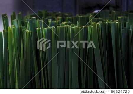 一種植物 66624729
