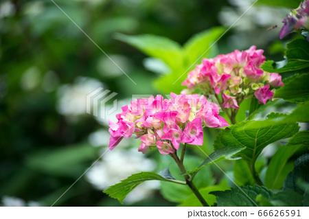 Closeup of pink Hortensia blossom  66626591