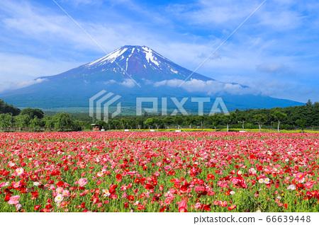 양귀비 (히나 게시) 꽃밭 야마나카 코 화려한 도시 공원 66639448