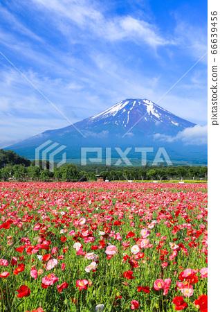 양귀비 (히나 게시) 꽃밭 야마나카 코 화려한 도시 공원 66639456