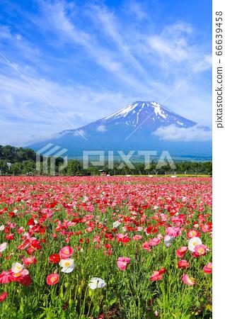 양귀비 (히나 게시) 꽃밭 야마나카 코 화려한 도시 공원 66639458